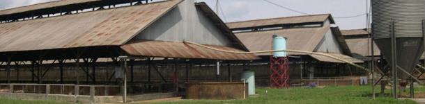 Помещения откорма на описываемой ферме, с защитой от грызунов и птиц, типичные для ферм юго-восточной Азии.