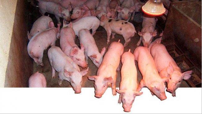 Показатели растущих и откормочных свиней являются умеренно наследуемыми.